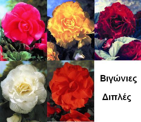 image of Μπιγκόνιες ( Βιγώνιες ) 5/6 Κασετινα 17
