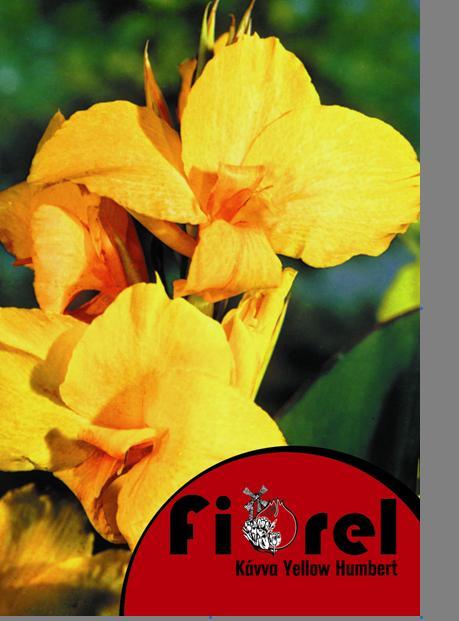 Κάννα YELLOW HUMBERT 2/3 Fiorel Ολλανδίας σε Φάκελο