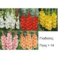 Γλαδιόλες Γίγας Μονόχρωμες Μέγεθος + 14 συλλογή 250 τεμχ.