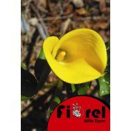Κάλλα Κίτρινη 14/+ Fiorel Ολλανδίας  σε Φάκελο