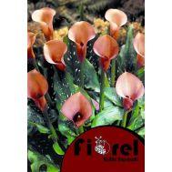 Κάλλα Πορτοκαλί 14/+ Fiorel Ολλανδίας  σε Φάκελο