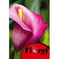 Κάλλα Ρόζ 14/+ Fiorel Ολλανδίας σε Φάκελο